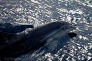 Dolfijn in Tenerife