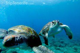 twee schildpadden