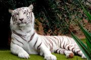 prachtige witte tijger